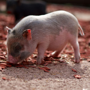 Mini pig found. How to reunite a teacup pig?