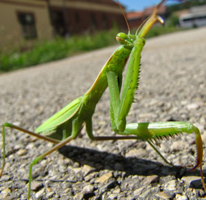 Pet insect found. How to reunite a found mantis?