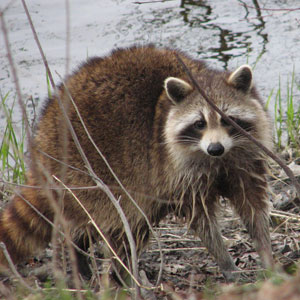 Raccoon found. How to reunite a found raccoon?