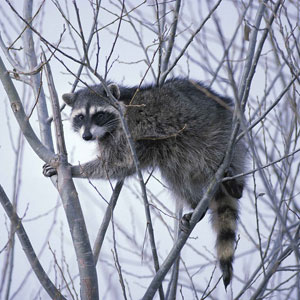 Missing raccoon. Lost raccoon classified ad, flyer or poster.